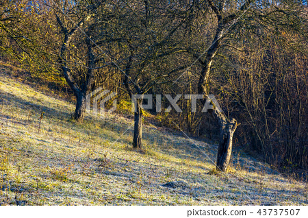 naked apple trees in orchard at sunrise 43737507