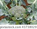 브로콜리, 야채, 채소 43738029
