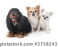 cavalier king charles and chihuahuas 43738243