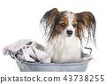 papillon and bath 43738255