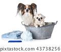 papillon, chihuahua and bath 43738256
