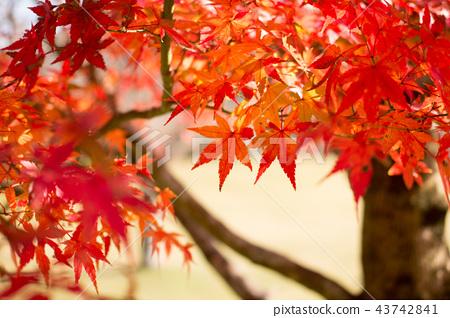 Maple leaves maple 43742841