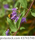 Pollinating bumble bee on purple flower 43743746