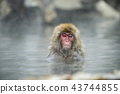進入溫泉的日本猴子 43744855