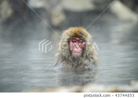 进入温泉的日本猴子 43744855