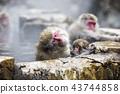 进入温泉的日本猴子 43744858