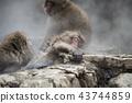 进入温泉的日本猴子 43744859