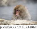 进入温泉的日本猴子 43744860