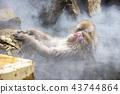 進入溫泉的日本猴子 43744864