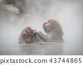 进入温泉的日本猴子 43744865