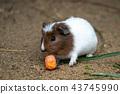 Guinea pig eats carrot (Cavia aperea f. porcellus) 43745990