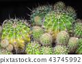 Cactus plant. Small round cacti. Green cacti.  43745992