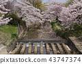 奈良佐渡河的櫻花 43747374
