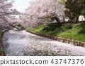 奈良佐渡河的櫻花 43747376