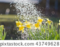 Yellow blooming daffodil with water drops. 43749628