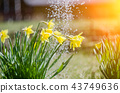 Yellow blooming daffodil with water drops. 43749636