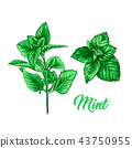 Green Mint Tea Herb Branch Theme. Isolated Hand Painted Realistic Drawing Illustration of Peppermint 43750955