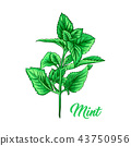 Green Mint Branch. Tea Herb Theme. Isolated Hand Painted Realistic Drawing Illustration of 43750956