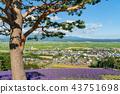 라벤더 밭, 꽃밭, 라벤더 43751698