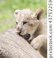 사자, 라이언, 동물 43752259