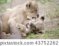 獅子獅子 43752262