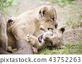 獅子獅子 43752263