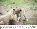 獅子獅子 43752281