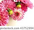 dahlia, dahlias, bloom 43752994