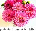 dahlia, dahlias, bloom 43753060