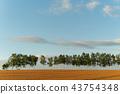 황혼의 자작 나무 가로수 비 에이 43754348