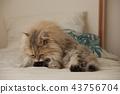 페르시아 고양이 43756704