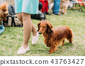 Brown Red Longhaired Dachshund Dog Running Near Woman In Green G 43763427
