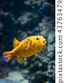 Yellow Blackspotted Puffer Or Dog-faced Puffer Fish Arothron Nig 43763479