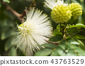 Mimosa pudica Inflorescence, round fully blossoming white flowers. 43763529