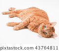 cat, pussy, brown tabby cat 43764811