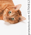 cat, pussy, brown tabby cat 43764812