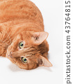 cat, pussy, brown tabby cat 43764815