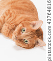 cat, pussy, brown tabby cat 43764816