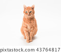 cat, pussy, brown tabby cat 43764817