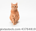 cat, pussy, brown tabby cat 43764819