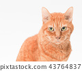 cat, pussy, brown tabby cat 43764837