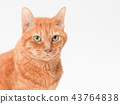 cat, pussy, brown tabby cat 43764838
