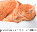 cat, pussy, brown tabby cat 43764840