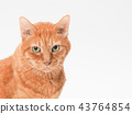 cat, pussy, brown tabby cat 43764854