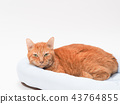 cat, pussy, brown tabby cat 43764855