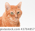 cat, pussy, brown tabby cat 43764857