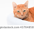 cat, pussy, brown tabby cat 43764858