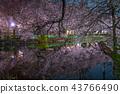 밤 벚꽃, 이노카시라온시코엔, 이노카시라온시 공원 43766490