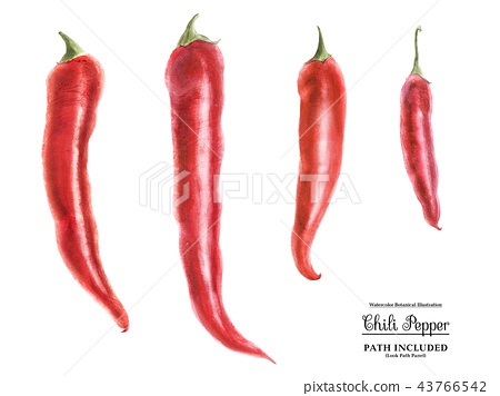 Watercolor art Four red hot chili peppers 43766542