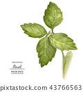 Green Basil Leaves 43766563